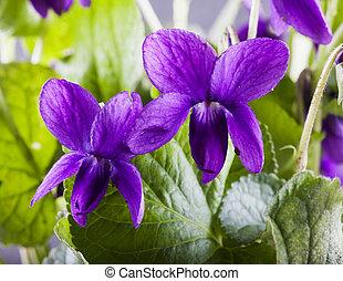 violetas, ramo