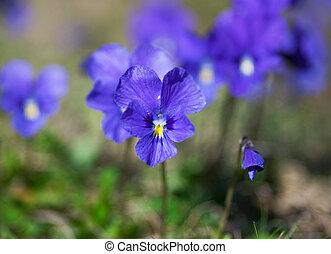 violetas, violeta
