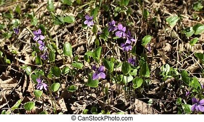 violets among last year's leaves