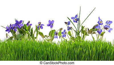 Violets flowers in grass isolated