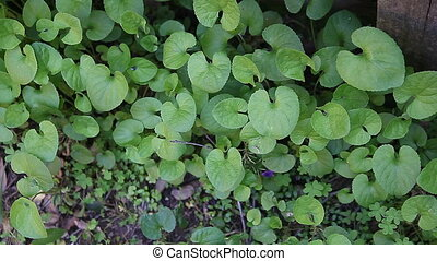 violets growing in shady garden - foliage of sweet violets...