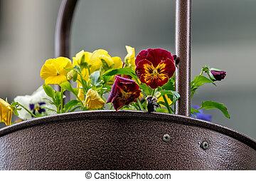 Violets in a pot 2