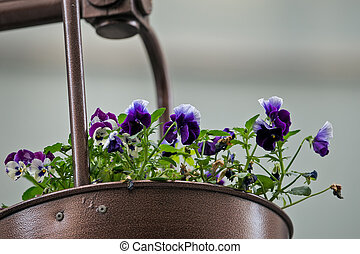 Violets in a pot 3