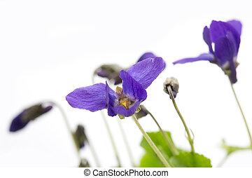 Violets on light background