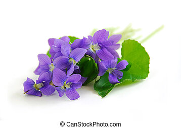 Violets on white background - Wild spring violets on white...