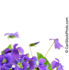Violets - Spring border with white copy space and violets