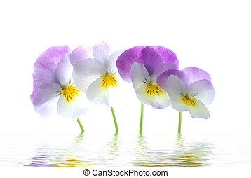 violett, altfiol, tricolor