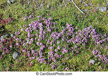 violett flowers on a meadow