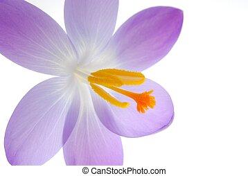 violett, fruehjahr, krokusse