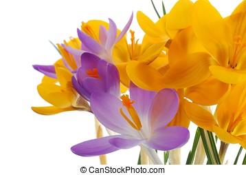 violett, und, gelber , fruehjahr, krokus