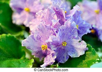 Blanc africaine vert violet connu saintpaulia violet for Violette africane