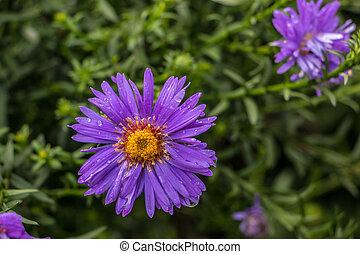 violette blüten, auf, der, grünes feld, von, der, park