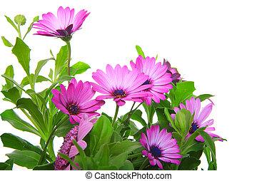 viooltje, afrikaans madeliefje, (dimorphoteca, osteospermum), bloem