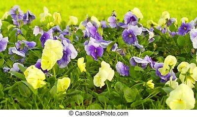 viooltje, lentebloemen