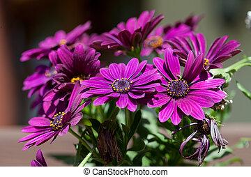 viooltje, roze, osteosperumum, bloem madeliefje