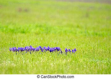 viooltje, wild, iris