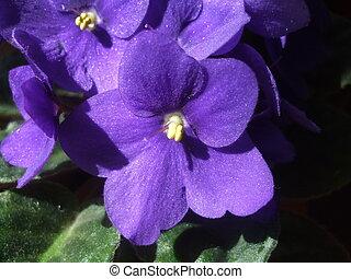 viooltjes, macrophotography, achtergrond., viooltje, altviool, flora, illustratie, bloemen, floral