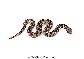 Viper snake - Common viper snake isolated on white