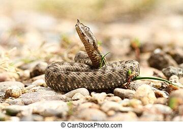 nose horned viper, juvenile
