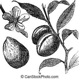 virág, prunus, gyümölcs, szüret, mandula fa, almond., dulcis, levél növényen, vagy, engraving.