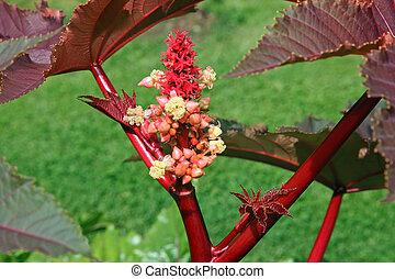 virág, ricinus, communis, alatt, kert