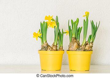 virágcserepek, noha, sárga, nárciszok