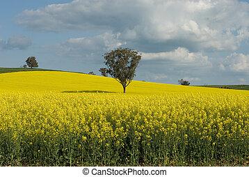 virágzás, canola, mező