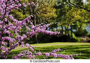virágzó, cseresznyefa, alatt, eredet, liget