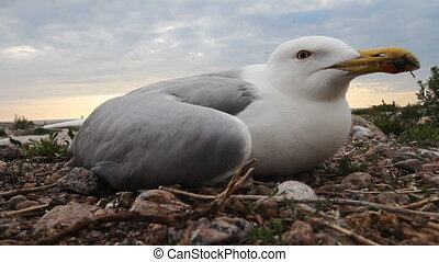 Viral Epidemic among herring gulls in nesting colonies. -...