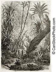 Virgin forest - Old illustration of virgin forest in Car...