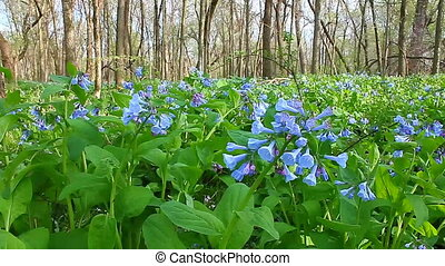 Virginia Bluebells in Illinois - Virginia Bluebells...