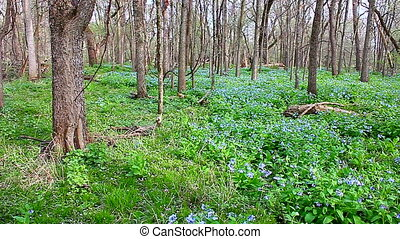 Virginia Bluebells Woods Illinois - Virginia Bluebells...