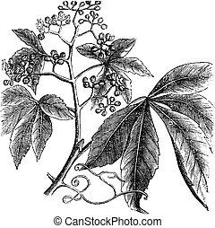 Virginia Creeper, Ampelopsis or  Parthenocissus Quinquefolia, American Ivy, Woodbine, False Grape vintage engraving.