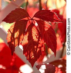 Parthenocissus quinquefolia - Virginia creeper, five-leaved...
