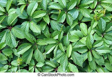 Virginia creeper green leaves - Virginia creeper...