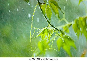 Virginia Creeper in Rain - Virginia creeper in rainy summer ...