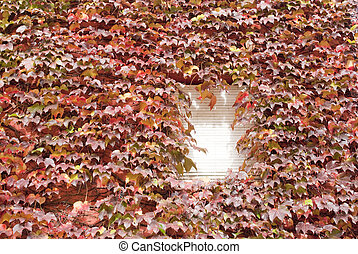 Virginia creeper leafs
