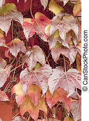 virginia creeper leaves