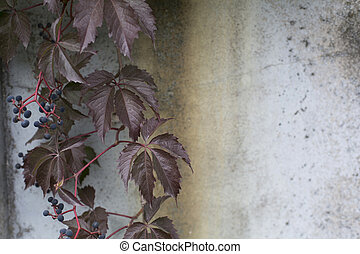 Virginia creeper on a concrete rusty wall background - The...