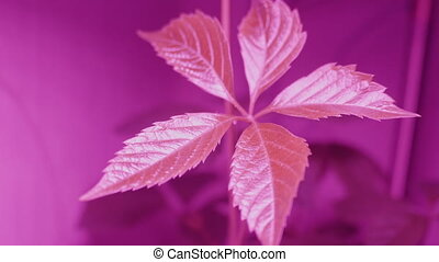 Virginia creeper, Victoria creeper, five-leaved ivy or five-finger under lamp with magenta light. Special pink light bulb for good growth Parthenocissus quinquefolia.