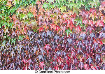 Virgina Creeper completely covers a wall, showing gradation of colour from green to red to purple.