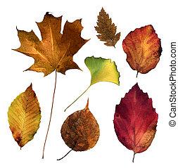 Virginia Leaves (1)