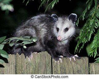 Virginia Opossum at Night - A Virginia Opossum on a fence at...