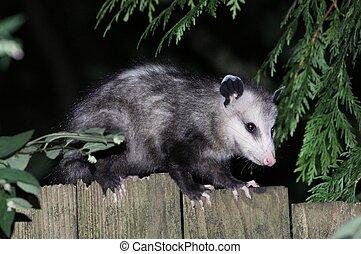 Virginia Opossum on a Fence Profile - A Virginia Opossum on...