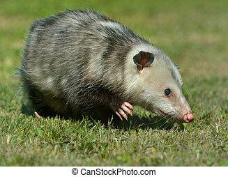 Virginia Opossum is climbing in the grass in Virginia