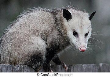 Virginia Opossum - Virginia opossum, Didelphis virginiana,...