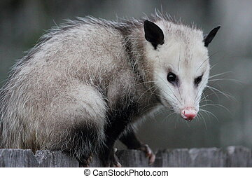 Virginia opossum, Didelphis virginiana, sitting on top of a fence