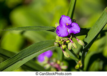 Virginia spiderwort (Tradescantia virginiana) in the garden