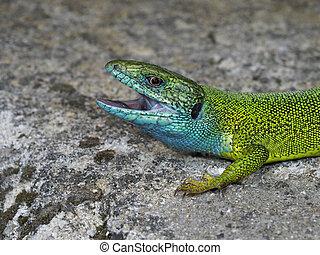 viridis, grün, europäische , lacerta, eidechse