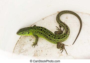 viridis, lizards., lagarto, lacerta, verde, agilis, genus, espécie